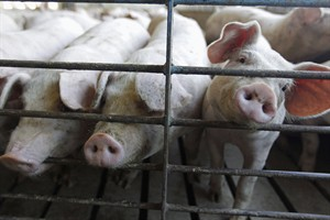 Hogs are shown at a farm in Buckhart, Ill., June 28, 2012. Quebec is the latest province to confirm a case of the deadly pig virus that has already killed millions of piglets in the United States. THE CANADIAN PRESS/AP/M. Spencer Green, File