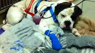 Tonka the dog was shot in the Cornwall Street area on Feb. 22, 2014. TORONTO POLICE.