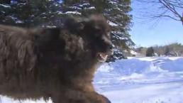 Toronto cabbie mistakes 150-pound dog for bear in Markham