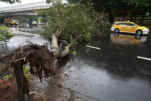 CORRECTS DATE - A taxi maneuvers around a fallen tree from Typhoon Matmo Taipei, Taiwan, Wednesday, July 23, 2014. The eye of Typhoon Matmo made landfall in eastern Taiwan early Wednesday bringing with it heavy rains and winds with gusts over 140 kilometers (85 miles) per hour. (AP Photo/Wally Santana)