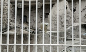 "In this video frame grab made available by Associated Press Television News, Arturo, a 28-year-old polar bear, stands inside his concrete enclosure at the zoo in Mendoza, Argentina, Tuesday, July 22, 2014. Despite a petition by hundreds of thousands of people asking for Arturo's relocation to a zoo in Winnipeg that has accepted the transfer of the bear, the Mendoza Zoo Director said Tuesday, that Arturo will remain in Argentina. The country's last remaining polar bear in captivity only suffers the typical ailments of old age said the director and asks Arturo supporters to ""stop bothering the bear,"" adding it would be risky to move him due to his advanced age. (AP Photo/APTN, Pablo Astie)"