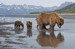 """Sky with her cubs Amber and Scout are shown in this undated handout photo in a scene from Disney nature's """"Bears."""" The documentary 'Bears' shows the challenge in keeping cubs alive. THE CANADIAN PRESS/ HO, Disney, Darren West"""