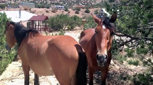 This still image from video shot on Sept. 23, 2013 shows stray horses in a Placitas, New Mexico, neighborhood walking through residents' property in search of food. For decades, the free-ranging horses have roamed this small mountain hamlet in New Mexico where they often gallop on residents' property and dash along roads. Federal officials say they plan on removing the horses roaming on nearby federal land after some residents complained the 125 or so horses have damaged the landscape amid drought conditions. (AP Photo/Russell Contreras)