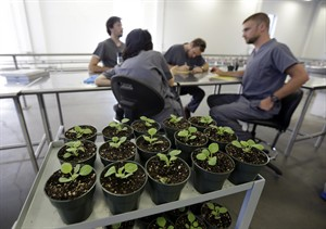 In this photo taken Thursday, Aug. 14, 2014 employees at Medicago USA, Inc. analyze data in Research Triangle Park, N.C. Through it's plant-based technology, the facility is capable of producing millions of doses of vaccines. (AP Photo/Gerry Broome)