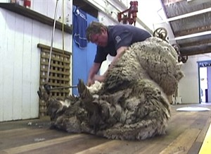 In this image made from video, Shaun the shaggy Australian sheep is shorn in Midlands, Australia, Thursday, Aug. 28, 2014. Shaun received his haircut for the first time in years Thursday, losing 23.5 kilograms (52 pounds) of wool but fleece failed to break record. (AP Photo/AuBC via AP Video) AUSTRALIA OUT