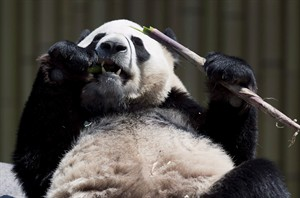 """oDa Mao the panda eats bamboo at the Toronto Zoo on May 16, 2013. Toronto Zoo is investigating """"an isolated incident"""" in which visitors bypassed a bamboo barrier and got too close to a five-year-old giant panda, which was briefly only separated from the public by a chain-link fence. THE CANADIAN PRESS/Nathan Denette"""