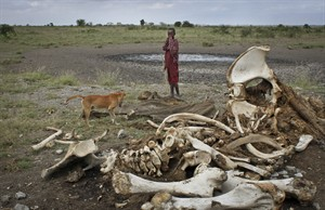 FILE - In this Wednesday, Feb. 13, 2013 file photo, a Maasai boy and his dog stand near the skeleton of an elephant killed by poachers outside of Arusha, Tanzania. A new study released Monday Aug. 18, 2014, by lead author George Wittemye of Colorado State University, found that the proportion of illegally killed elephants has climbed to about 65 percent of all African elephant deaths, accounting for around 100,000 elephants killed by poachers between 2010 and 2012. (AP Photo/Jason Straziuso, File)