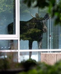 A young moose stands behind a window in an administration building of Siemens in Dresden, Germany, Monday Aug. 25, 2014. The two to three year old animal had already been seen in Radebeul near Dresden on the weekend. It is believed to have moved from the north, possibly Poland, to the Dresden Elbe Valley. Police are trying to capture a moose on the loose in the eastern German city of Dresden. A spokesman for Dresden police says the young bull walked into the offices of German industrial giant Siemens on Monday and got stuck behind a glass wall. Marko Laske says officers and wildlife are trying to shoo the moose into a container so he can be taken to the local zoo. Moose are rare in Germany and the animal is likely to have come from neighboring Poland. (AP Photo/dpa,Arno Burgi)