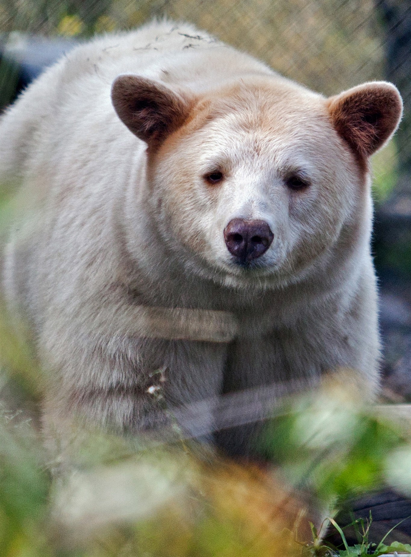 Clover The Kermode Will Soon Be Exploring His New Enclosure At BC Wildlife Park In Kamloops Spirit Bear Became Habituated To Humans As A Cub And
