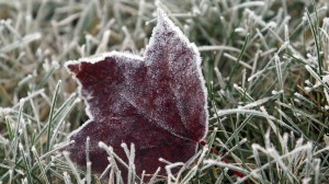 Heavy frost coats a fallen leaf just after daybreak in Marlborough, Mass., on Nov. 18, 2009. THE ASSOCIATED PRESS/Bill Sikes