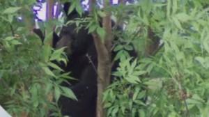 A black bear spotted in Newmarket climbs a neighbourhood tree, June 1, 2015. CITYNEWS
