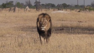 Cecil the lion pictured at Hwange National Park in Zimbabwe. YOUTUBE/Bryan Orford