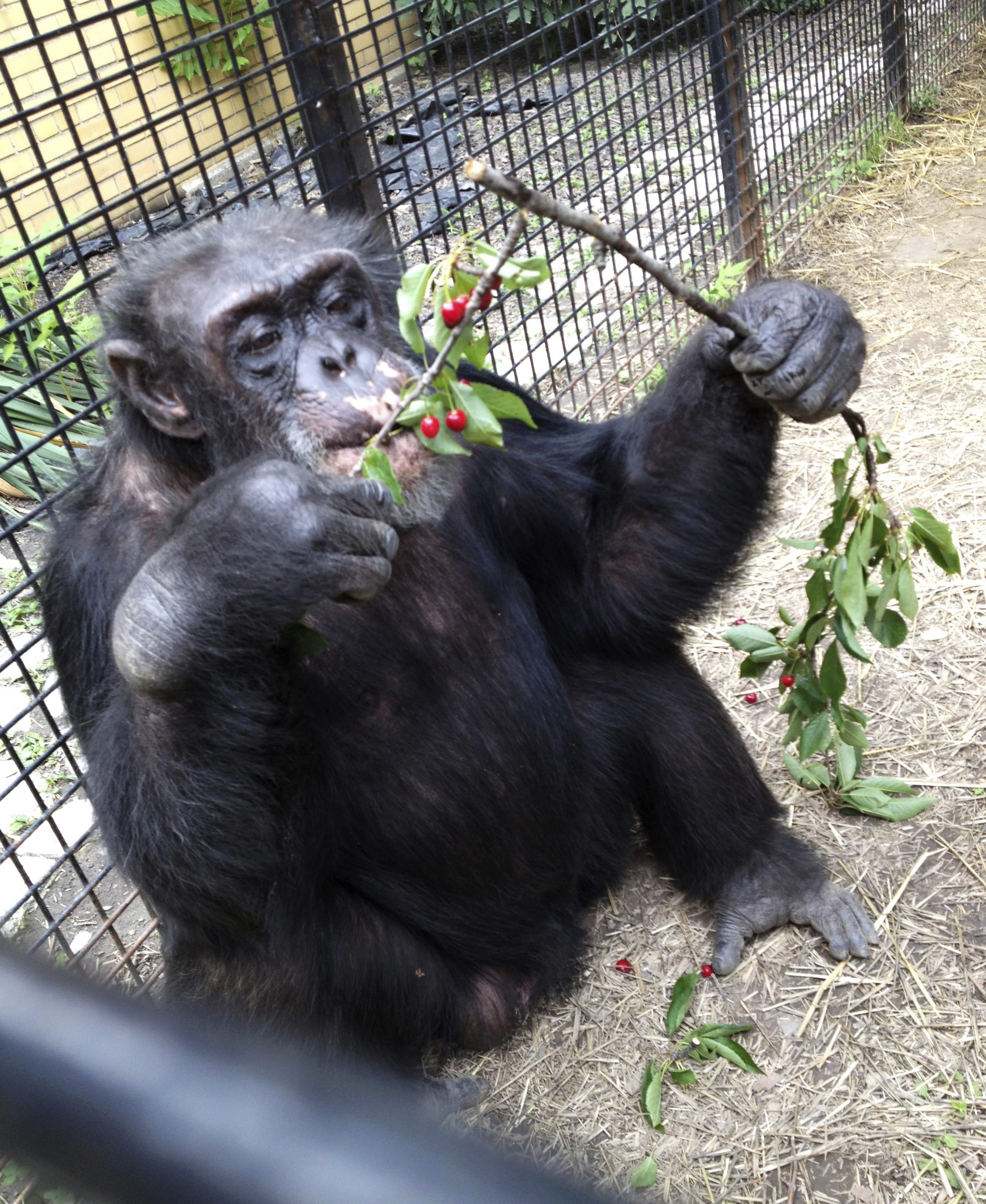 Freedom of the Apes: US Attorney Seeks Legal Rights for Chimpanzees
