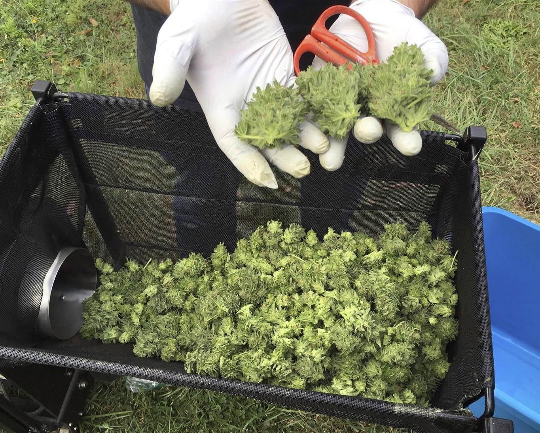 Pharmacy distributors want in on Canada's legalized marijuana regime