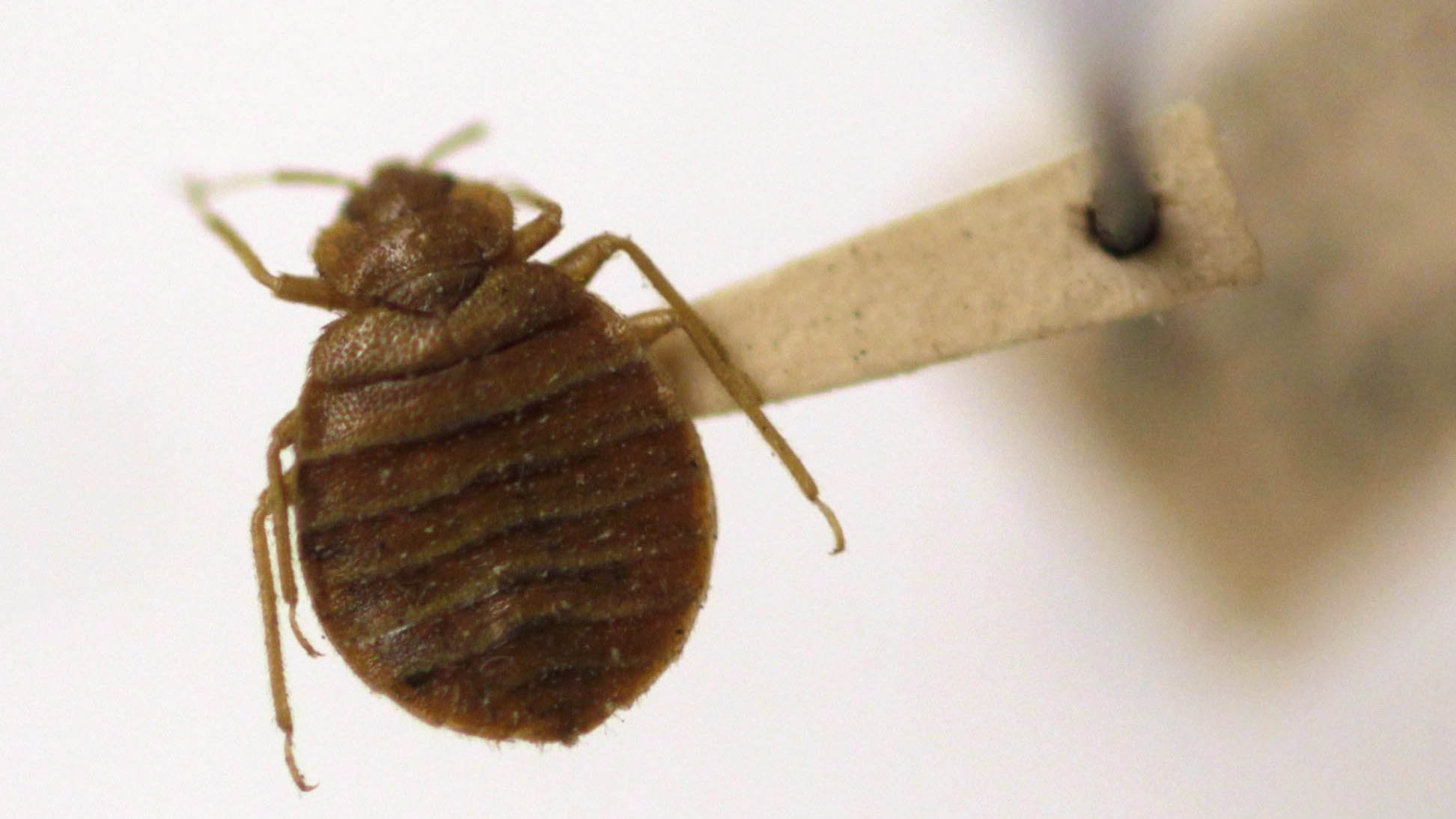 remedies rid to bed get best bugs of naturally