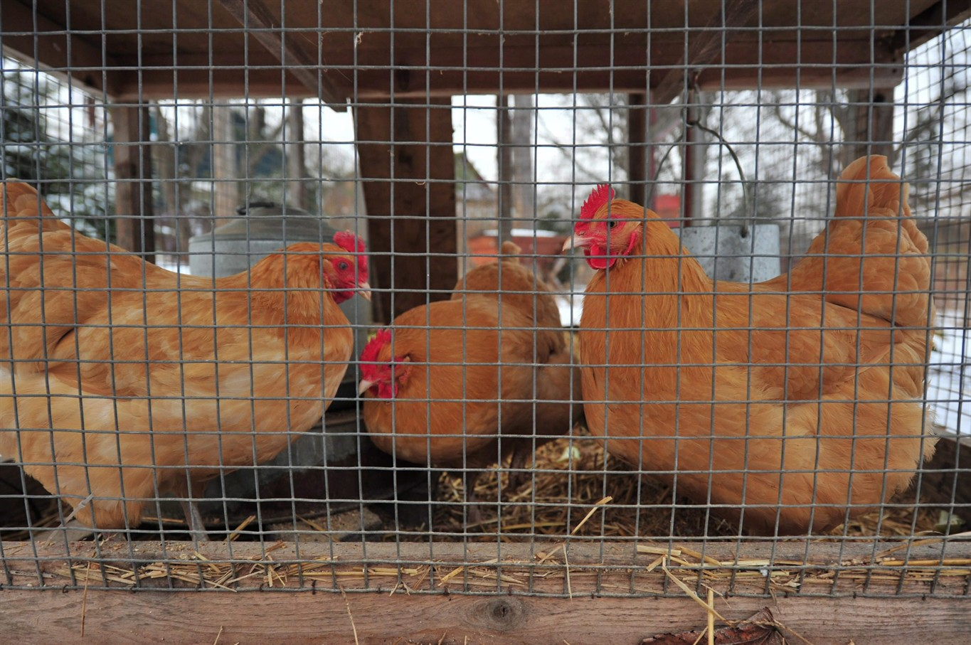 Backyard chickens get OK under Toronto pilot project