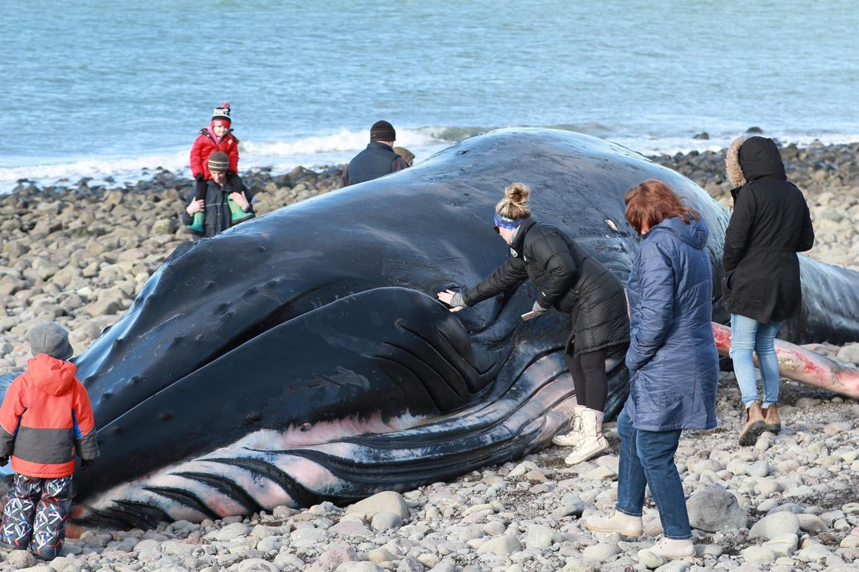 No necropsy for dead humpback whale in Nova Scotia: Fisheries ...