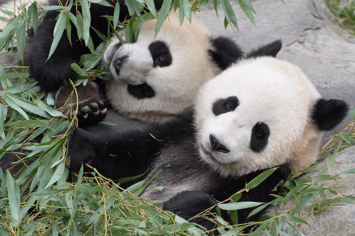 Toronto Zoo bids farewell to giant pandas