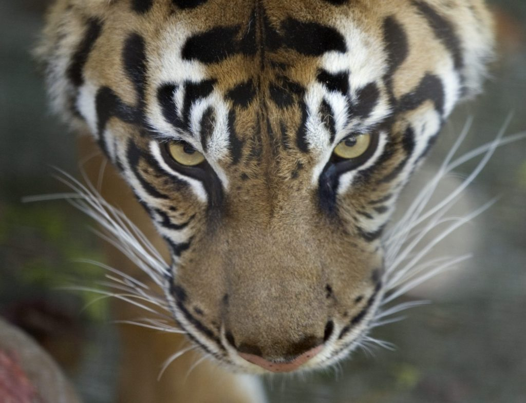 Toronto Zoo taking precautions with big cats after tiger in N.Y. gets coronavirus