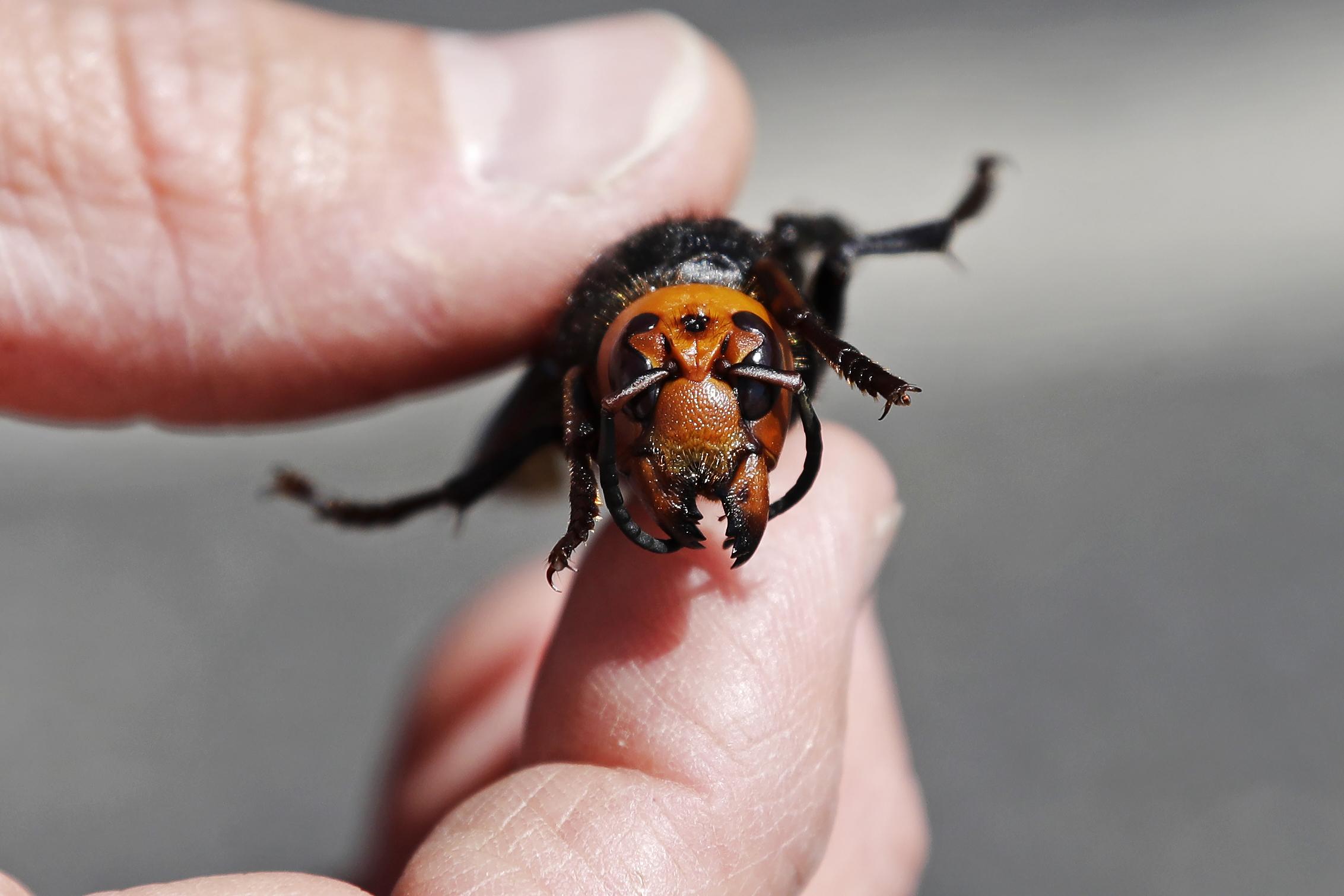 First 'murder hornet' nest in US found in Blaine